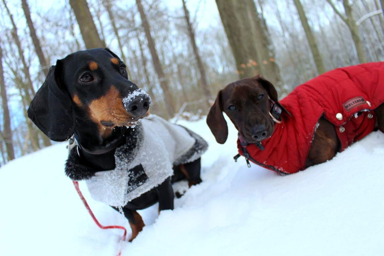 Dackel und Schnee