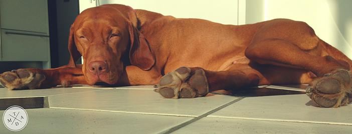 Hund allein daheim