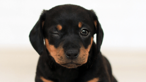 Rasseportrait Rottweiler
