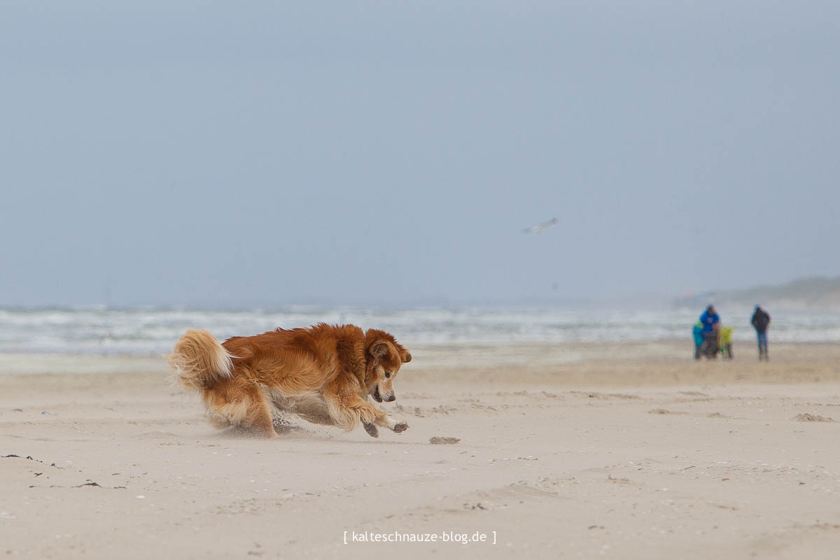 scotty petten sint maartenszee Hund