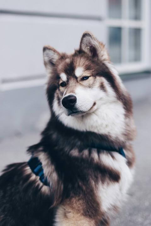 5 Facts über den sibirischen Husky Teddy!